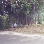 2005 Banyan Tree in Fernandez yard